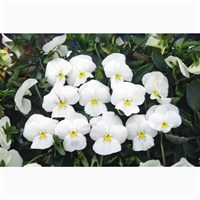 Viola F1 Coconut Ice White 6 Pack Boxed Bedding