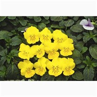 Viola F1 Penny Yellow 6 Pack Boxed Bedding