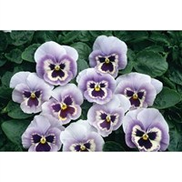 Viola F1 Marina 6 Pack Boxed Bedding
