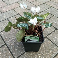 Cyclamen hederifolium (White) in a 9cm Pot