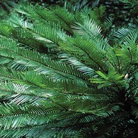 Wollemi Pine - Multi Trunk 1ft