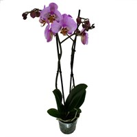 Phaloenopsis Orchid Double Stem - Dark Pink 60cm (12cm Pot)