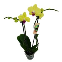 Phaloenopsis Orchid Double Stem - Yellow 60cm (12cm Pot)