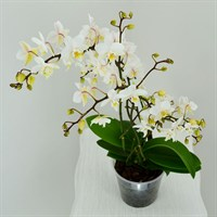 Wild Orchid Multiple Stem- White 50cm (12cm Pot)