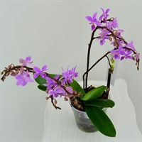 Wild Orchid Multiple Stem- Pink 50cm (12cm Pot)