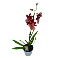 Cambria Orchid Single Stem Nelly Isler - Red 60cm (12cm Pot)