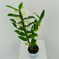 Dendrobium Orchid Single Stem - White 60cm (12cm Pot)