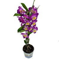 Dendrobium Orchid Single Stem - Pink 60cm (12cm Pot)