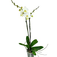 Phaloenopsis Orchid Double Stem- Pale Yellow & White 90cm (15cm Pot)