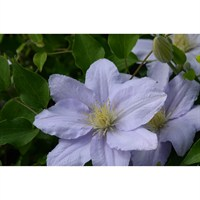 Clematis Chelsea (Evipo100) - 3 Litre