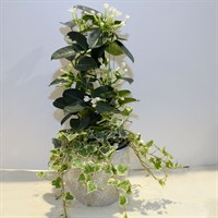 White Planter With Stephonosis & Ivy - 40-50cm