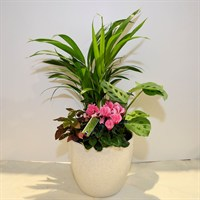Large Cream Planter - Cyclamen And Various Greenery - 50-60cm