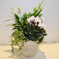 Large White Planter With Spathiphyllum & Cyclamen - 30-40cm