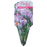 Crocus Purple White Stripped 10.5cm Potted Bulbs