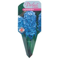 Hyacinth Blue Pearls 13cm Potted Bulbs