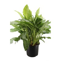 Aglaonema 'B.J. Freedman' - 32cm X 90cm Pot