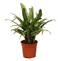 Aglaonema 'Cutlass' - 14cm X 45cm Pot