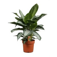 Aglaonema 'Silver Bay' - 26cm X 40cm Pot