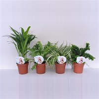 Air So Pure Plant Mix - Set of 6 Various Houseplants - 12cm x 25cm