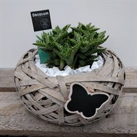 Aloe Design 1 In Nest With Butterfly Motif