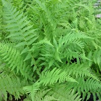 Athyrium Filix Femina - Fern - 9cm (Pack of 3) (ATHFFE9)