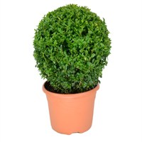 Buxus Sempervirens Ball (Small) 10L