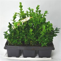 Buxus Sempervirens Large Carry Pack - 6 Pack