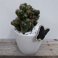 Cacti In White Pot Design 3 With Butterfly Motif