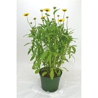 Coreopsis Corey Yellow-Red in a 2L Pot