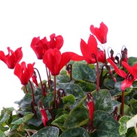 Cyclamen F1 Red 6 Pack Boxed Bedding