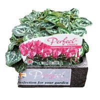 Cyclamen F1 Rose 6 Pack Boxed Bedding