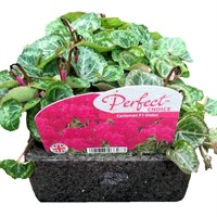 Cyclamen F1 Violet 6 Pack Boxed Bedding