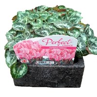 Cyclamen Salmon 6 Pack Boxed Bedding