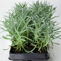 Lavender Angustifolia Carry Pack - 6 Pack