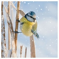 Ling Design Charity Christmas Cards 6 Pack - Blue Tit in Snow (X12229RCJP)