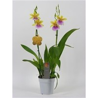 Orchid Miltonia 'Sunset' Inca Reina In A 12cm Pot