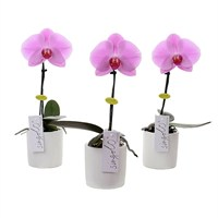 Orchid Phalaenopsis Liodora Multiflora Orchid In A 12cm Pot (Single)