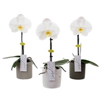 Orchid Phalaenopsis Single Stem White In A 9cm Pot (Single)