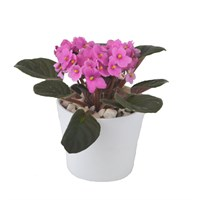 St Paulia (African Violet) Light Pink In White Ceramic Pot