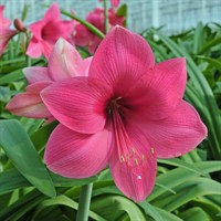 Taylors Bulbs Amaryllis Adele - Single (AP98J)