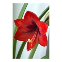 Taylors Bulbs Amaryllis Red Nymph - Single (AP93A)