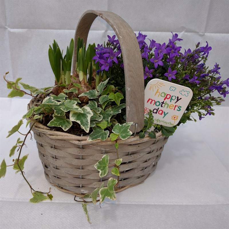Flower Bulb Baskets : Spring bulb mixed basket cm mother s day plant