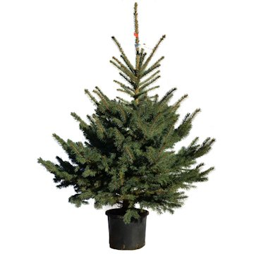 Real Potted Christmas Trees