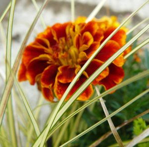 blog_french_marigold
