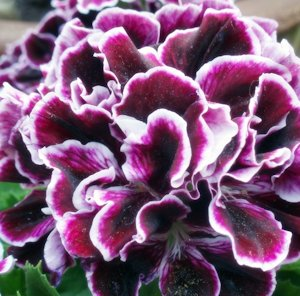 blog_geranium