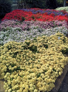 Phlox Bedding Plants