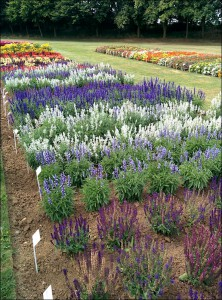 blog_ball_colegrave_salvia_beds