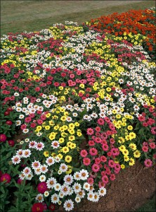 Mixed Zinnia