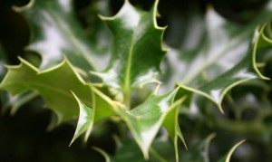 blog_holly_leaves
