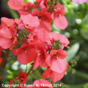 Diascia (Flying Colours Series) 'Flying Colours Deep Salmon'